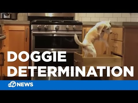 Adorable beagle tries to climb kitchen counter | Will stop at nothing!