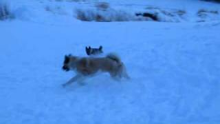 My American Akita playing with my Norwegian Elkhound