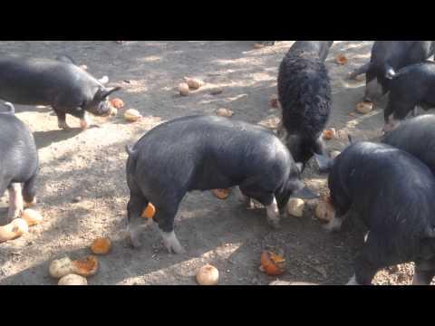 Csarda Haz Farm Berkshires Enjoy Organic Squash