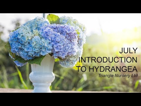 Introduction To Hydrangea- Wholesale Flowers Direct