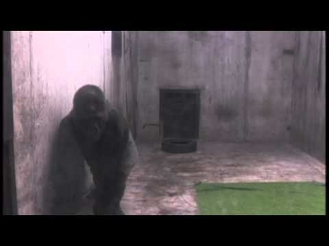 Ivan the gorilla lived alone in a shopping mall for over 20 years (The Urban Gorilla)