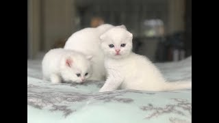 Pure White Kittens  - Scottish Fold/British Longhair