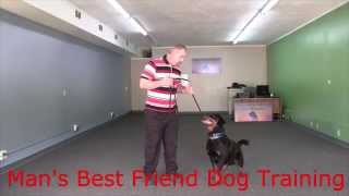 Champ: Obedience And Protection Trained Rottweiler