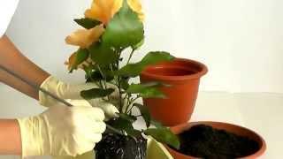 Как правильно пересадить гибискус.(Об уходе за гибискусом в домашних условиях http://w-orhidea.ru/house-plant/gibiskus.html . JOIN QUIZGROUP PARTNER PROGRAM: ..., 2014-07-03T14:50:48.000Z)