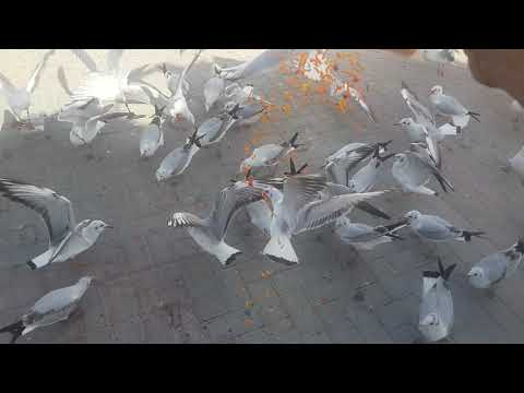 Seagull birds line up at Dubai Creek and I feed them! Beautiful view 2015.