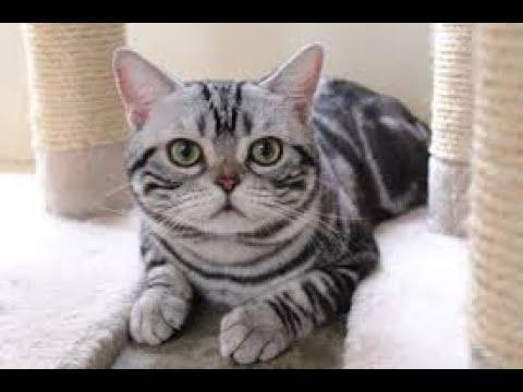 ทาสแมวEp.5 ทำคความรู้จัก!!แมวอเมริกันช็อตแฮร์