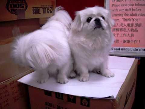 Pekingese puppies, Nice BARK!