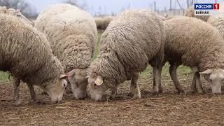 видео ТУРКИ (овцеводство породы) :: Фермерское хозяйство