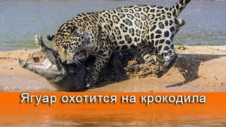 ВИДЕО: Ягуар охотится на двухметрового крокодила