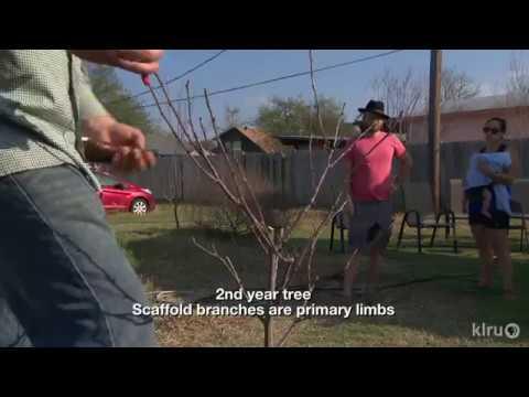 How to Prune Young Fruit Trees | Zach Halfin | Central Texas Gardener
