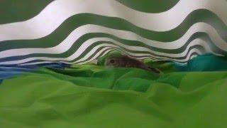 Домовый сыч Гнусь тусит под покрывалом. Little Owl Gnus runs under the covers