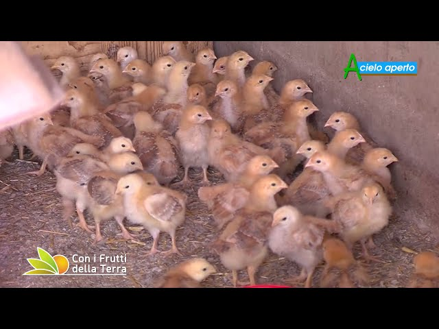 Puntata del 11/7/21 – 2° parte –  Montese: pollame al pascolo