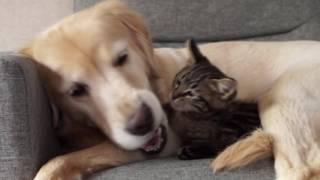 まさかのオチに笑っちゃう!大型犬と子猫のじゃれ合いが癒しと笑いにあふれてた