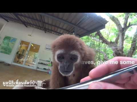 A Morning with Rescued Gibbon Jib Jub