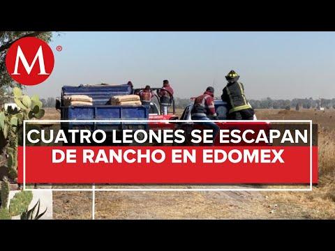 Tratan de localizar cuatro leones que escaparon de rancho en Zumpango