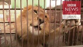 南米のペルーとコロンビアで34頭のライオンがサーカス団から救出された...