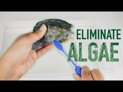 Turtle Tank Algae Removal - How to clean algae on turtle shell