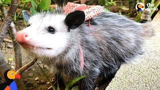 This Possum's A People Person - STARFISH | The Dodo