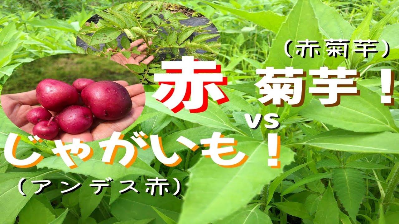 赤菊芋と赤じゃがいも!(アンデス赤)[5.22/我流自然栽培]