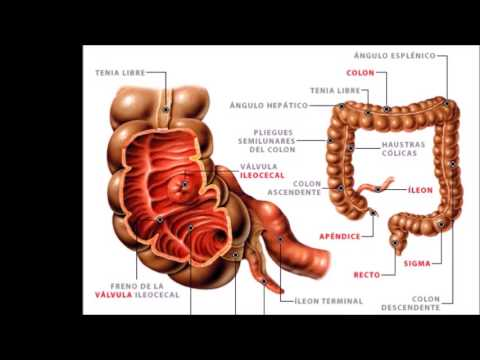 Intestino delgado e Intestino grueso - YouTube