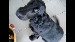 Ninja The Cocker Spaniel's Guilty Puppy Eyes! So Cute!