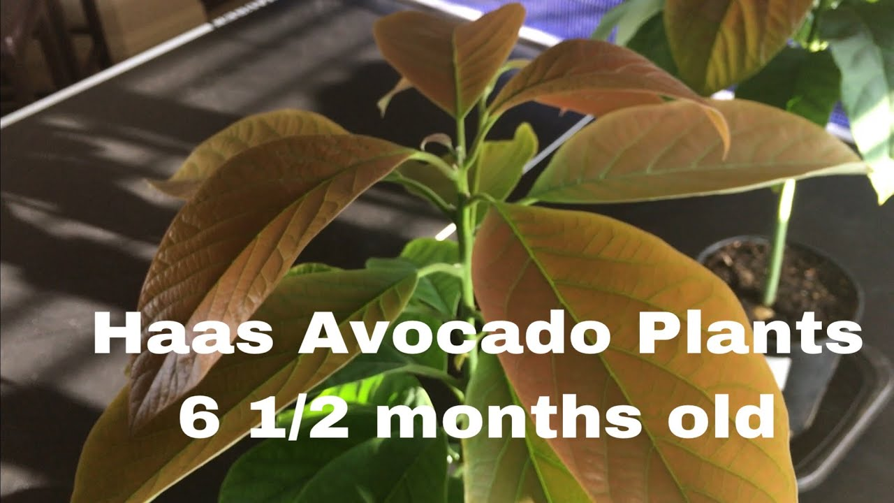 You Look Like An Avocado Quote: Haas Avocado Trees Grown From Seed, 6+ Months Old!