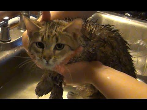 Pixie Bob Kittens First Bath
