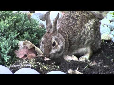 5 Wild Baby Rabbits fight for mom's feeding & Mom Repairs Nest