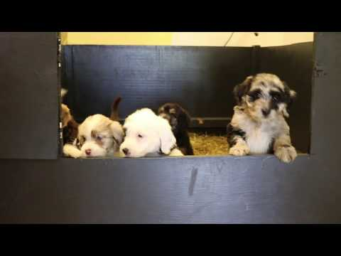 Belle's AussieDoodle Puppies at 7 weeks