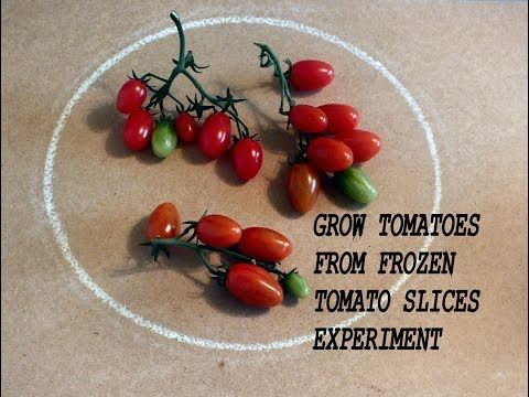 Grow tomatoes from frozen tomato slices experiment. Grow Vegetables