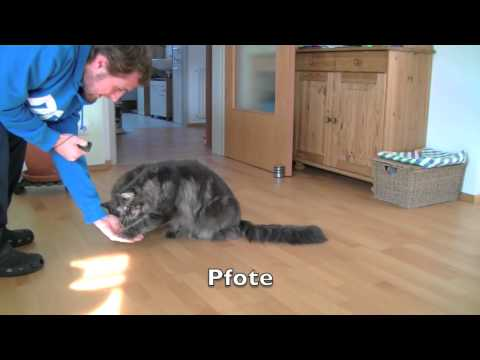 Maine Coon Clickertraining
