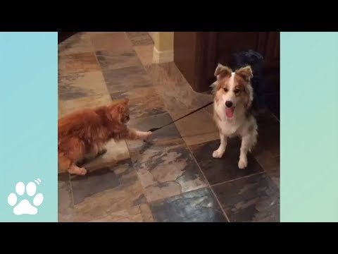 Cat Walks Dog? | Doggo Friday