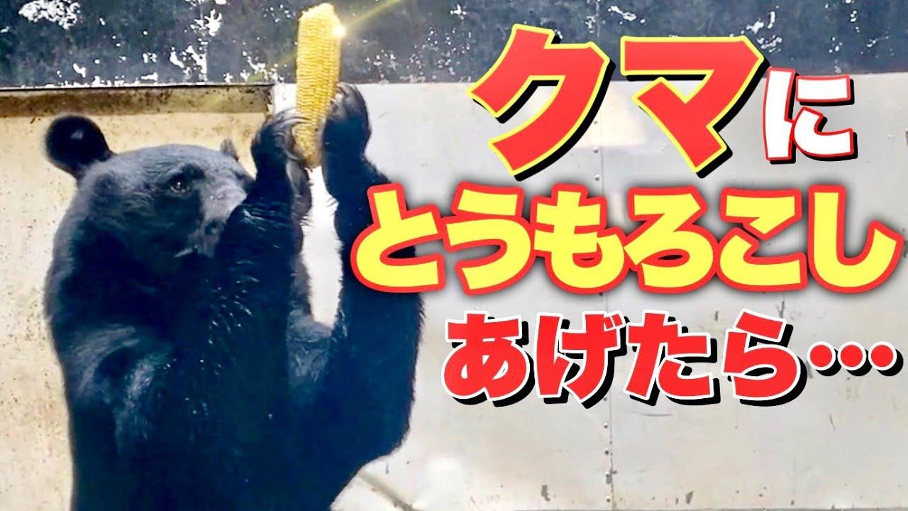 ツキノワグマにとうもろこしあげたら反応が神すぎたww The black bear playing with corn is interesting