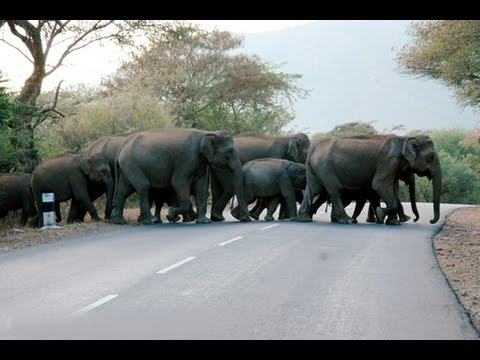 Group of the Elephants Crossing the road