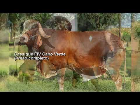 LOTE 18 – FARDILHA FIV CABO VERDE JCVL3313