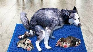 Cận Cảnh Ngáo Lần Đầu Đẻ Con Sinh 8 Cún Đáng Yêu