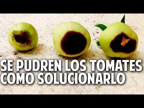 Manchas marrones en tomates? como solucionar la podredumbre apical
