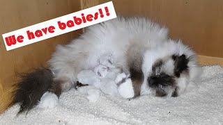Birman Kittens Seal Litter  From birth to new homes VLOG #1