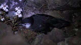 幻の鳥、小笠原諸島で確認 オガサワラヒメミズナギドリ