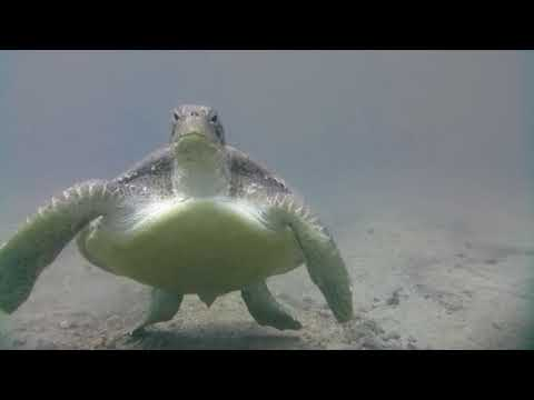 Swimming with a Green Sea Turtle