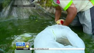 Budidaya Ikan Koi di Blitar, Jawa Timur -IMS