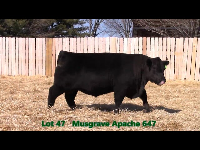 Musgrave Angus Lot 47