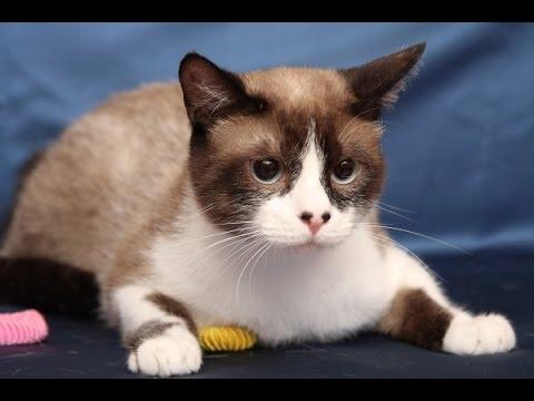 Порода кошек сноу-шу, описание, сколько стоит