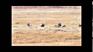 Greater Sage grouse lekking in eastern California