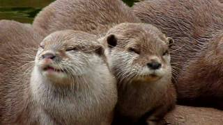 Otters at London Zoo