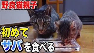 野良猫親子 子猫 家猫化 【野良猫が初めてサバを食べるとこうなります】Kitten Funny cats Japanese traditional house