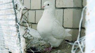 Кинги - мясная порода голубей.Есть голубей или нет...