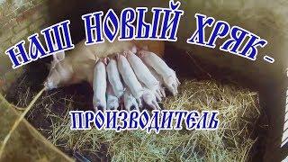 НОВЫЙ ХРЯК-ПРОИЗВОДИТЕЛЬ (Дюрок)