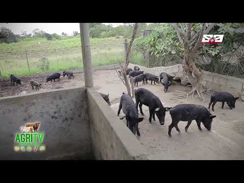 AGRITV MAY 19 2019 EP AGRITURISMO NAtive Pigs Raising
