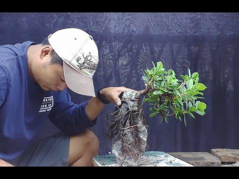 Ficus Microcarpa Roots